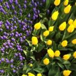 Tulpenfestival1